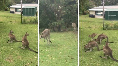 Hop on by for a visit! Woman stunned as kangaroo and baby Joey visit back garden