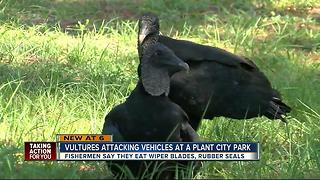 Vultures attacking vehicles at a Plant City park - Video