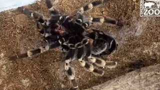 Cincinnati Zoo Shares Incredible Timelapse of Red-Kneed Tarantula Molting - Video