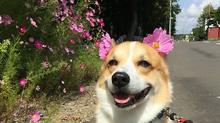 Happy corgi loves pretty pink flowers - Video