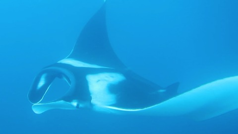 Let's play hide and seek with a Manta Ray