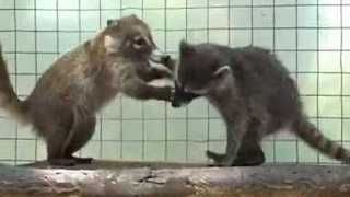 Playful Raccoon and Coati Share Adorable Friendship - Video