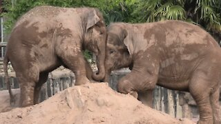 Young elephants engage in cutest pushing battle ever