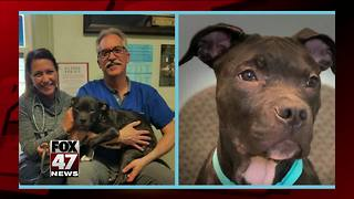 Abused dog has successful surgery - Video