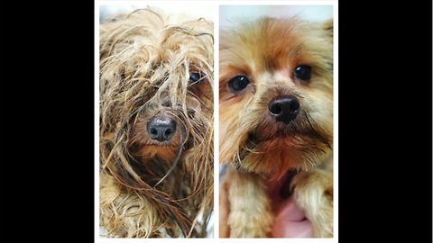 Incredible transformation of Yorkie used at puppy mill for breeding his entire life