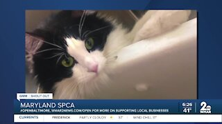Cindy the cat is looking for a new home at the Maryland SPCA