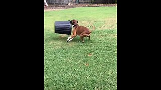 Boxer Hilariously Spins Bin In Circles - Video