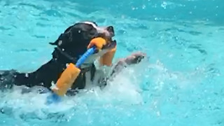 Pit Bull's swimming skills are not very graceful - Video