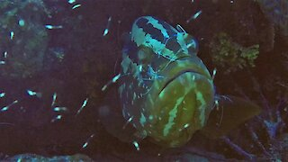 Giant grouper gets his face cleaned by brave little shrimp