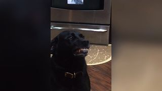 Cute Labrador Hates Taking Medicine - Video