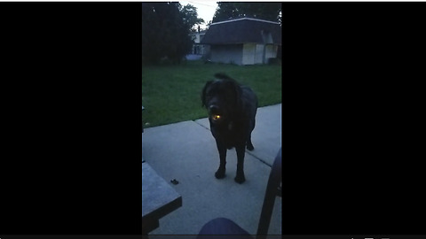 Labrador Catches Fireflies And Flashes A Glowing Smile At The Camera