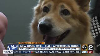 New drug trial heals dogs of arthritis - Video
