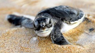 Baby Turtles Learn How To Swim - Video