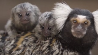 Symbio Wildlife Park Welcomes Super Cute New Marmoset Twins - Video