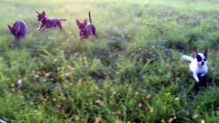 chihuahua dogs runs to their family