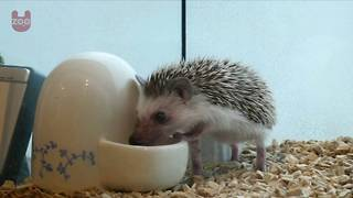 Japanese Hedgehog Cafe - Video