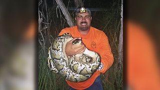 Florida Snake Hunter Catches Deadly Pythons With Bare Hands - Video