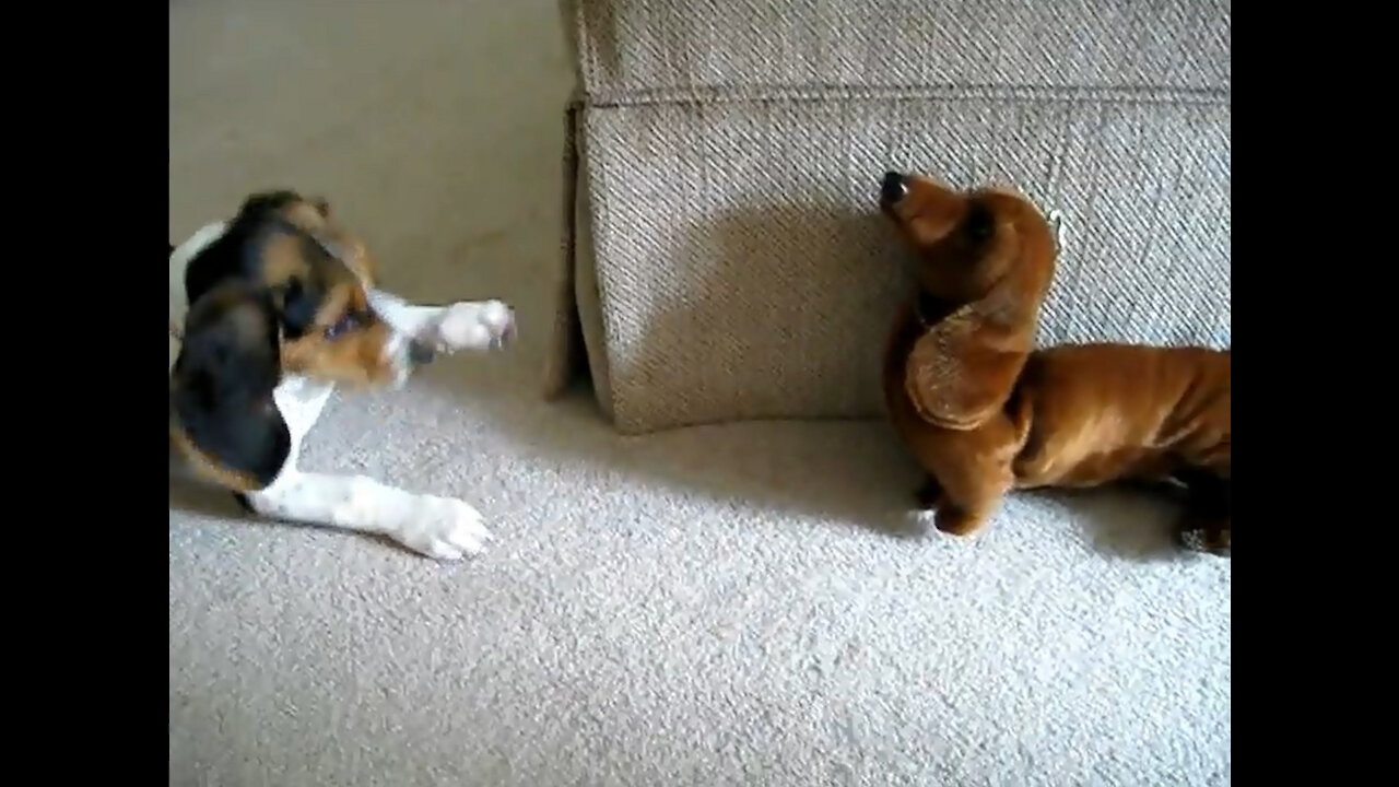 Beagle Puppy Vs Fake Dachshund
