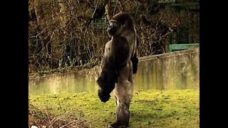 Gorilla Stands Tall - Video
