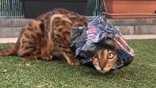 Bengal cat is obsessed with Pepsi Max