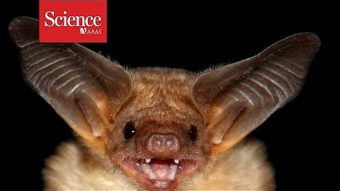 Listen to the greatest hits from the biggest bat song library
