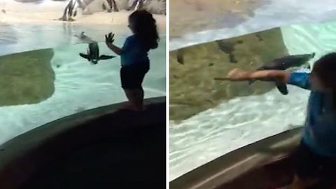 Adorable moment penguin plays chase with girl at aquarium