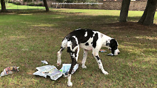 Funny Great Danes Express Their Opinions About The News