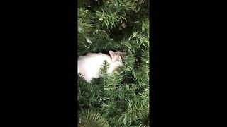 Cat uses Christmas tree as bed - Video