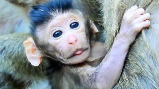 The Most Beautiful Baby Monkey Just Born