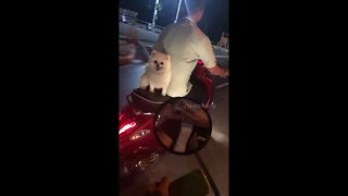 Puppy rides pillion on moped... while his sister cowers on the footrest - Video