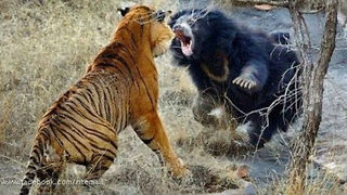 Biggest wild animal fights!! - Video