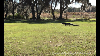 Unexpected alligator strolls across Florida yard into pond