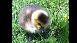 Newborn gosling left behind by parents finds foster home - Video