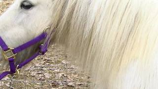 Snowy the pony attacked in Gore Neighborhood - Video