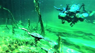 Scuba divers meet aquatic bird hunting thirty feet below the surface
