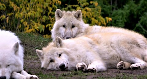 Pack of Arctic wolves settle for a nap in the afternoon