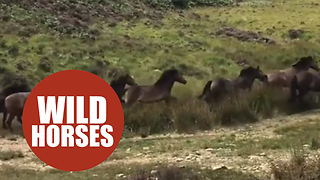 Incredible footage shows massive pony herd crossing UK moorland