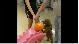 Goldendoodle puppy loves to go bowling
