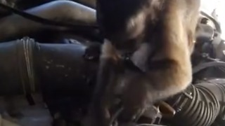 Is This Monkey A Mechanic? - Video