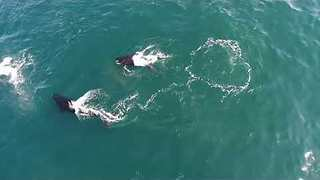 Killer Whales Observed Playing With Seabird in Monterey Bay - Video