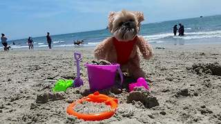 Munchkin the Teddy Bear loves the beach! - Video