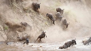 Thousands Of Wildebeest Fall From Bank Attempting To Cross River - Video