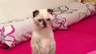 Focused cat stands on two legs with ease