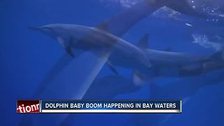 Scientists see rise in baby dolphins in Tampa Bay area - Video