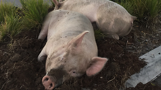 Escaped Pigs Found Napping At Petrol Station After Big Night Out - Video