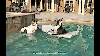 Relaxed Great Danes enjoy a spa day at the pool