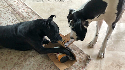 Clever Great Dane demonstrates how to open a package