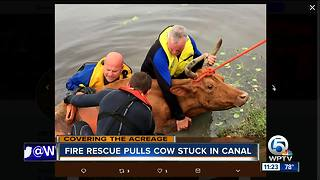 Firefighters rescue cow stuck in a canal in Loxahatchee