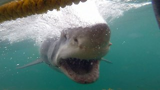 Cage Diver's Close Encounter With Fearsome Great White Shark - Video