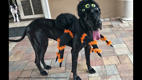 Great Dane Shows Off Its Halloween Spider Costume